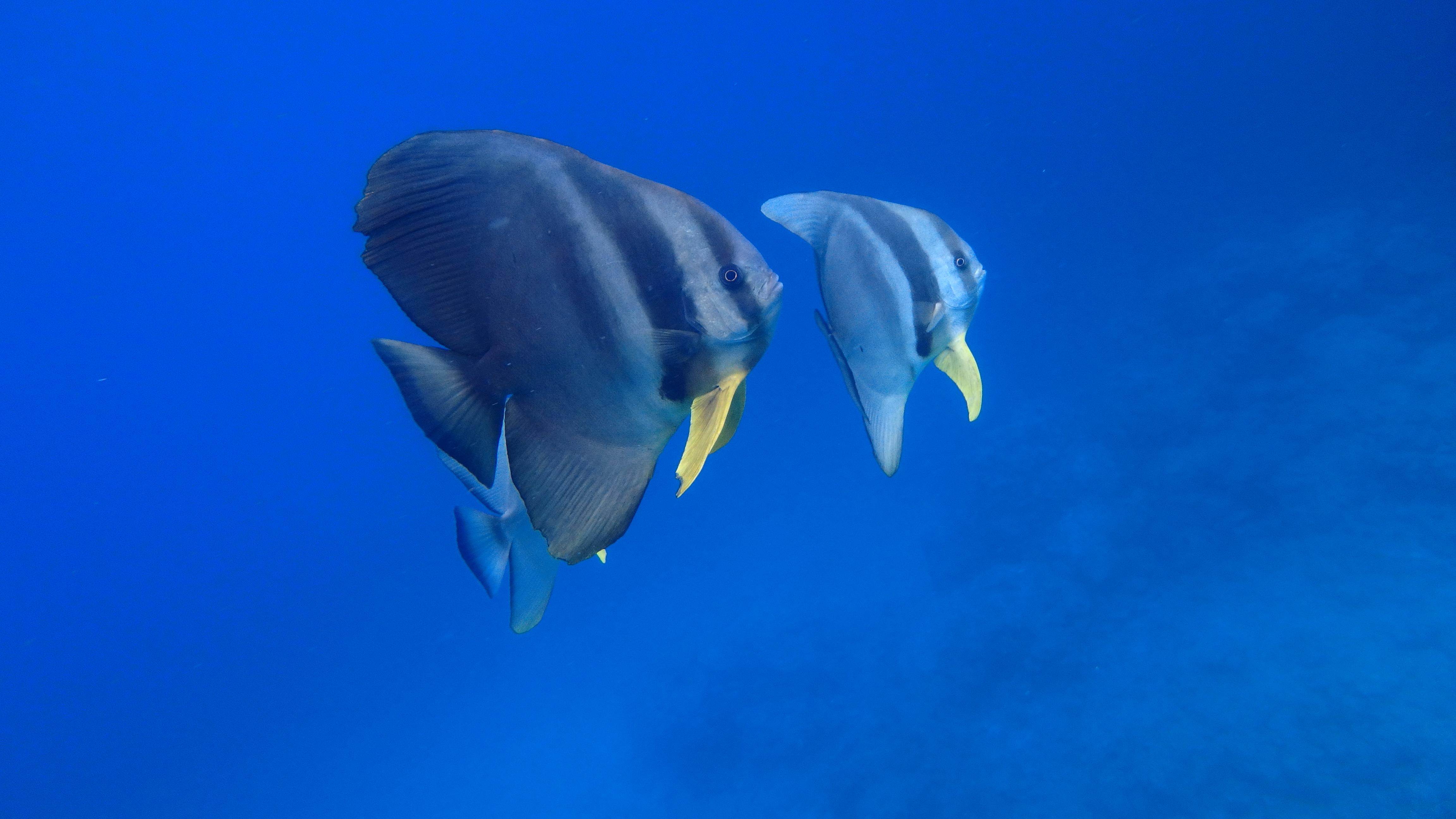(日本語) 青の洞窟にいる魚シリーズ② ツバメウオ